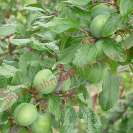 Zelená ringlota cudzoopelivá sladká