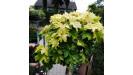 Acer platanoides Javor mliečny