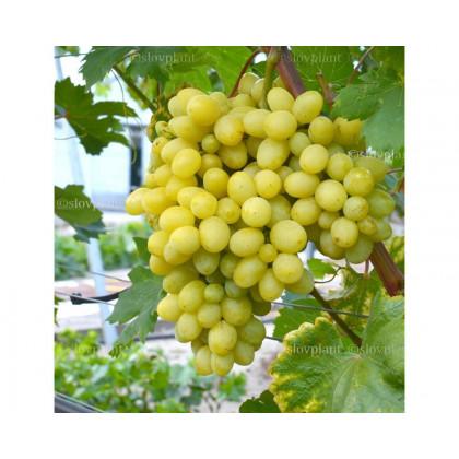 Arni stolový vinič biely super skorý prostokorenný