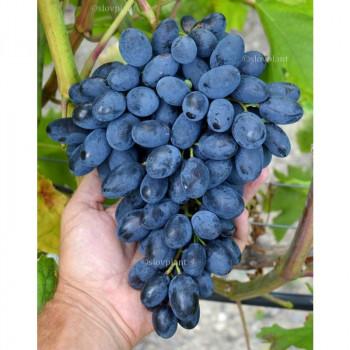 Atos vinič stolový rezistentný modrý super skorý prostokorenný