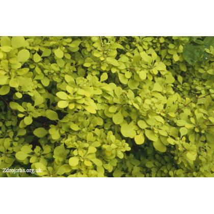 Aurea berberis thunbergii dráč C1.3L/ 15-20