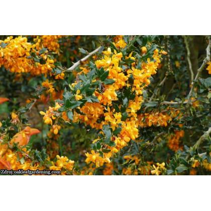 Apricot Queen berberis lologensis dráč C3L/ 25-30