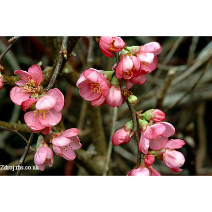 Pink Lady chaenomeles superbadulovec C3L/ 25-30