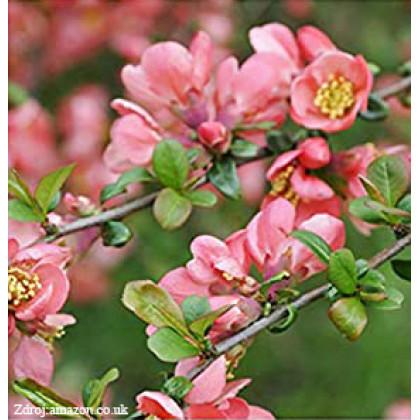 Pink Trail chaenomeles superbadulovec C3L/ 25-30