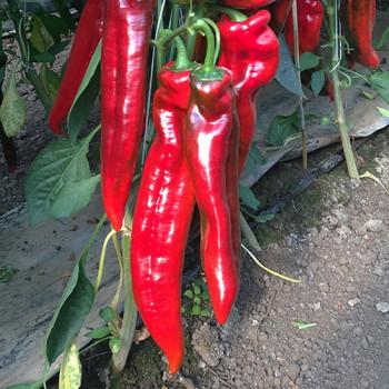 Bercel F1 paprika sladká úzka dlhá 250 semien NOVÉ