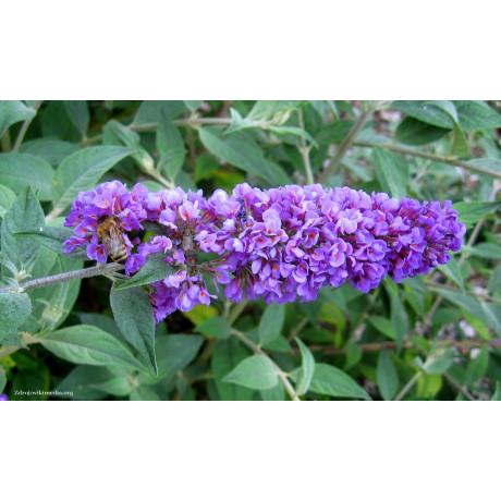 Blue Chip Jr. buddleia alternifolia buddleja C3L