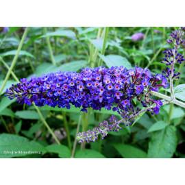 Empire Blue buddleia davidii buddleja C3L/ 40-60