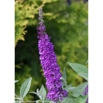 Miss Violet buddleia alternifolia buddleja C3L