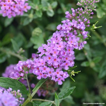Lilac Chip buddleia alternifolia buddleja C3L