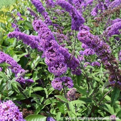 Border Beauty buddleia davidii buddleja C3L/ 40-60