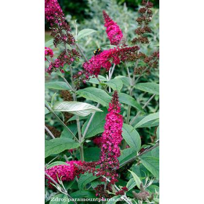 Miss Ruby buddleia alternifolia buddleja C3L