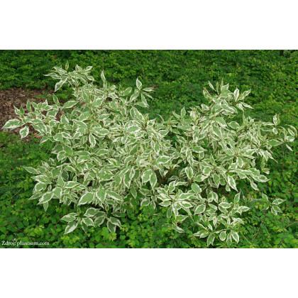 Elegantissima cornus alba svíb C2L/ 40-60