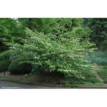 Cornus alternifolia svíb C5L/ 60-80