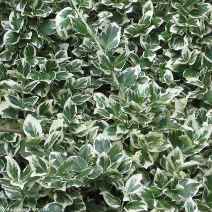 Emerald Gaiety euonymus fortunei bršlen C1.5L/ 20-25