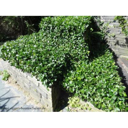 Dart's Blanket euonymus fortunei bršlen C1.5L/ 30-40