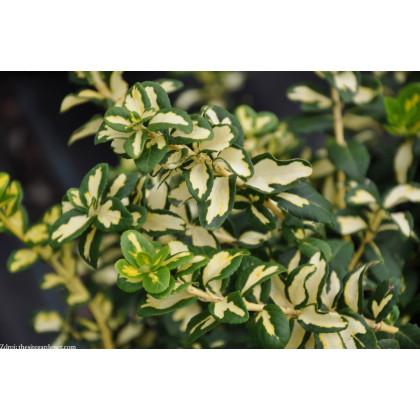 Blondy / Interbolw euonymus fortunei bršlen C2L/ 20-25