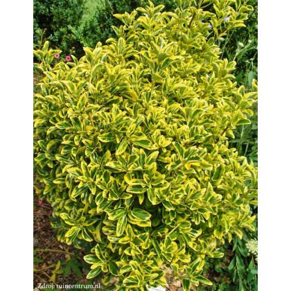 Aureomarginatus euonymus japonicus bršlen C1.5/ 20-25