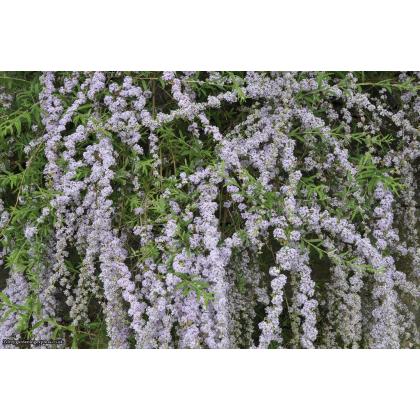 Buddleia alternifolia buddleja C2L/ 30-40