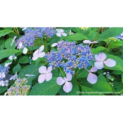 Blue Wave / Mariesii Perfecta hydrangea macrophylla hortenzia C2L/ 20-25
