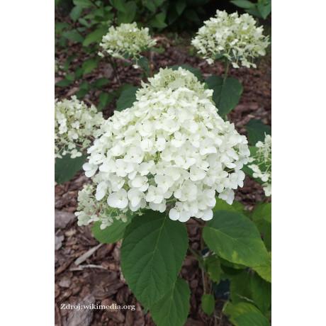 Strong Annabelle hydrangea arborescens hortenzia C3L
