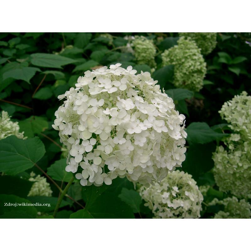 Annabelle hydrangea arborescens hortenzia stromčeková C2L/ 30-40