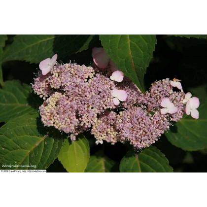 Benigaku hydrangea serrata hortenzia C2L/ 25-30