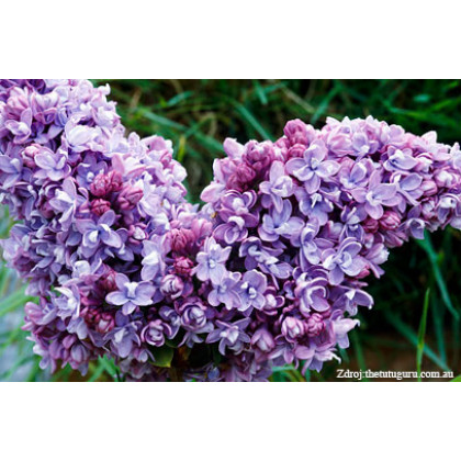 Katherine Havemeyer syringa vulgaris orogován C5/ 50-60