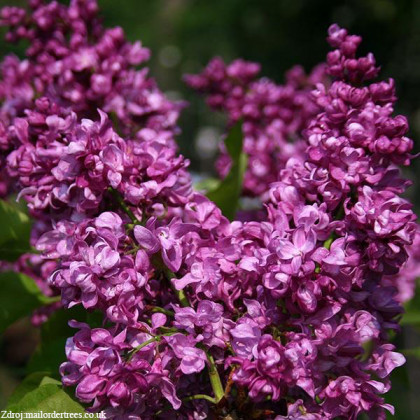 Mrs Edward Harding syringa vulgaris orgován C5L/ 50-60