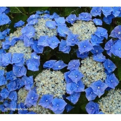 Blaumeise hydrangea macrophylla hortenzia C2L/ 20-25