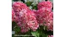 Hydrangea hortenzia stromčekovitá