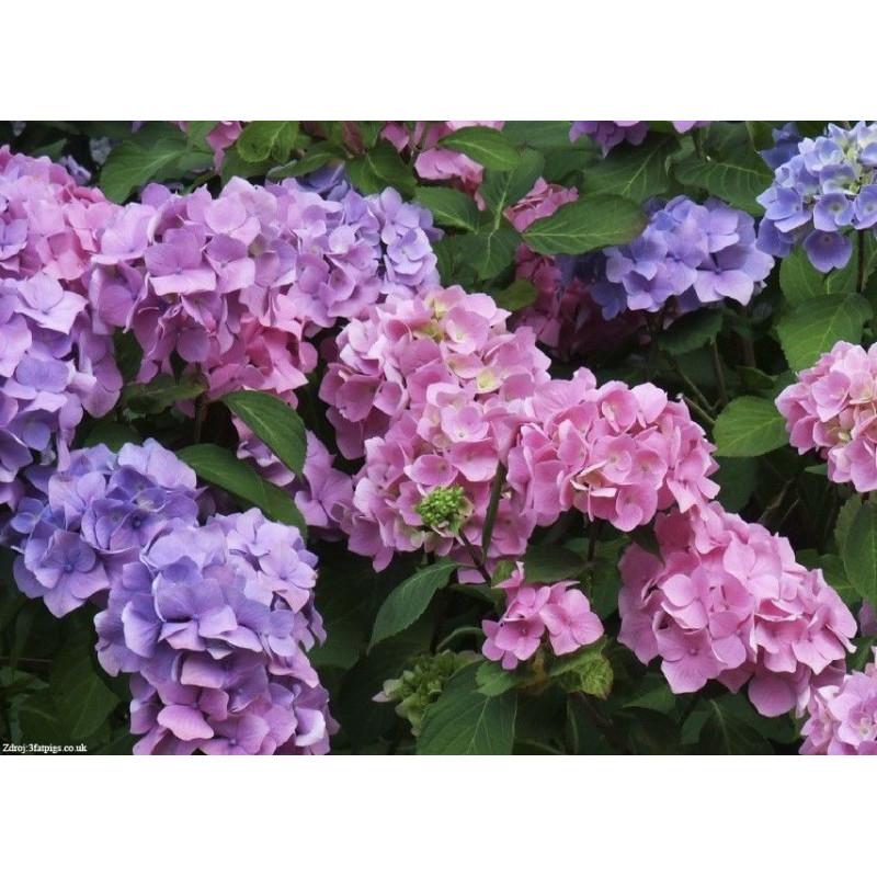 Bouquet Rose hydrangea macrophylla hortenzia C2L/ 20-25