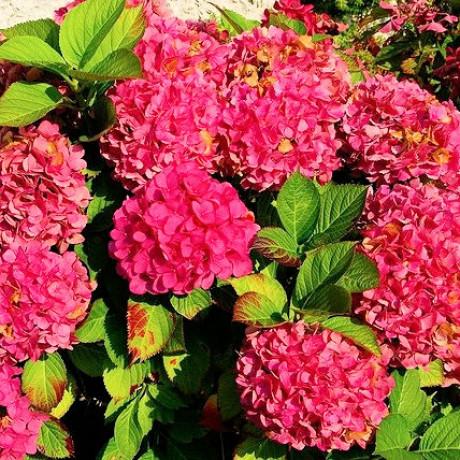 Alpengluhen hydrangea macrophylla hortenzia C2L/ 20-25