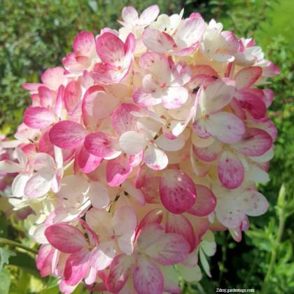 """Diamond Rouge """"Rendia"""" hydrangea paniculata hortenzia C3L"""