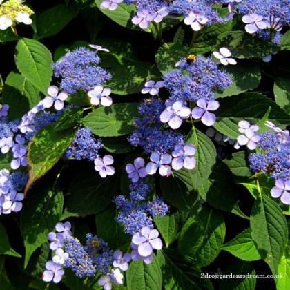 Bluebird hydrangea serrata hortenzia C2L/ 25-30