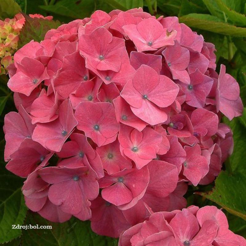 King George VII hydrangea macrophylla hortenzia C2L/ 20-25