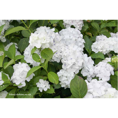 Madame Emile Moulliere hydrangea macrophylla hortenzia C2L/ 20-25
