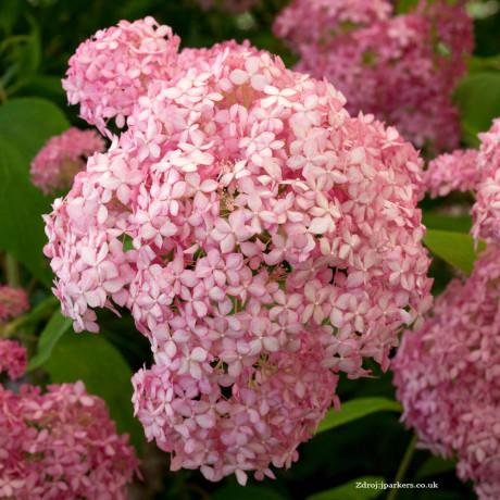 Pink Annabelle hydrangea arborescens hortenzia C7L