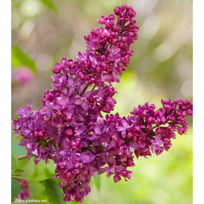 Charles Joly syringa vulgaris  orgován C5L/ 50-60