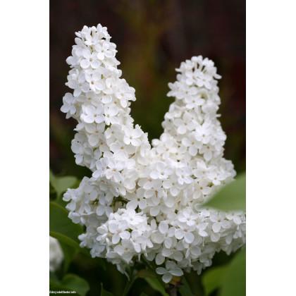 Madam Florent Stepman syringa vulgaris orgován C5L/ 50-60