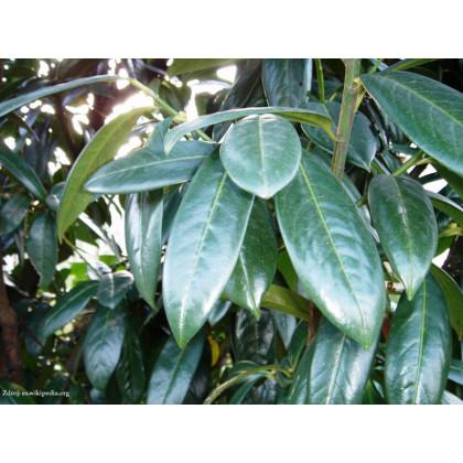 Mischeana prunus laurocerasus vavrínovec lekársky v bale 30-40cm