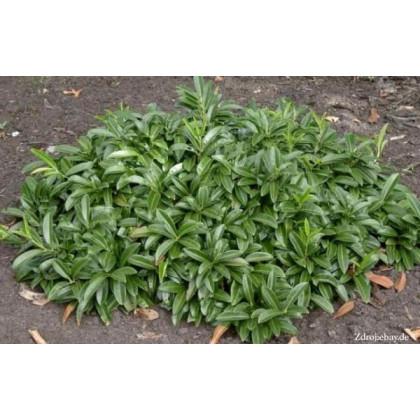 Mount Vernon prunus laurocerasus vavrínovec lekársky C3L/ 20-25