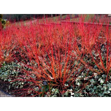 Anny´s Winter Orange cornus sanguinea svíb C3L/ 50-60