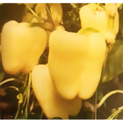 Goldano paprika F1 extra skorá kvadratická biela 100 semien