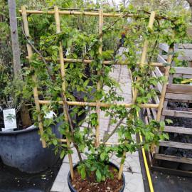 Hrab špalier carpinus betulus 120x85cm kontajner C..