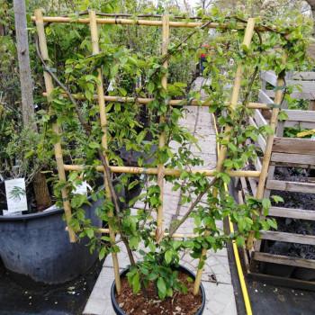 Hrab špalier carpinus betulus 120x85cm kontajner C18L