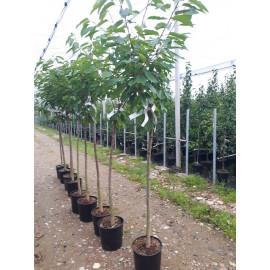 Rodinný strom čerešne kontajnerované 4-5 odrôd pol..