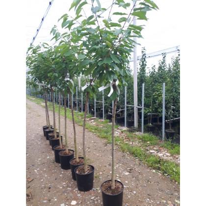 Rodinný strom čerešne kontajnerované 4-5 odrôd polokmeň