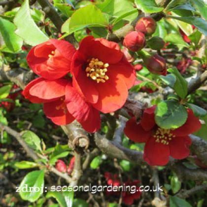 Knap Hill Scarlet chaenomeles superba dulovec  C3L/ 25-30