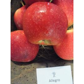 Allegro jabloň letná podpník M9 prostokorenná