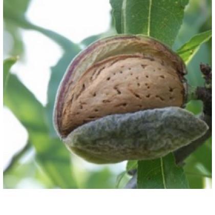 Lauranne mandľa samoopelivá strom